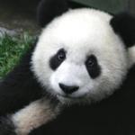panda holzuhr welt armbanduhren aus holz